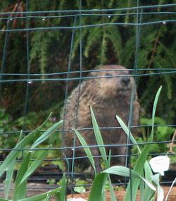 Groundhogs Our Edible Garden