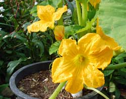 how to grow crookneck squash in a container